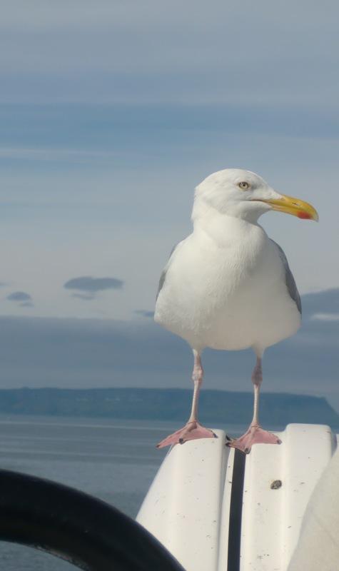 gaviota-escocia